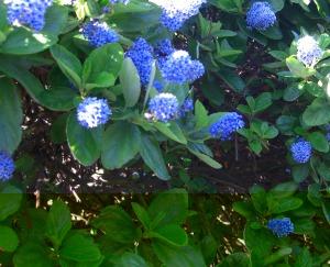 unknown blue shrub . . .