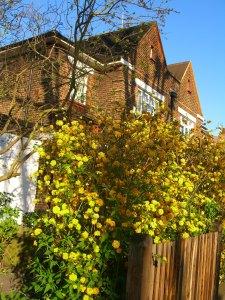 unknown yellow bush