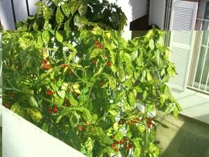 aucuba shrub